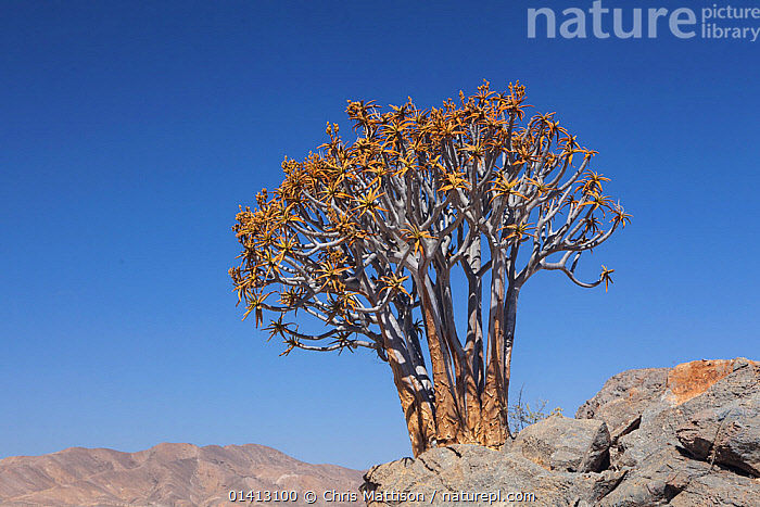 Maiden's quiver tree (Aloe ramosissima). Richtersveld, South Africa. Endangered., AFRICA,ARID,DESERTS,ENDANGERED,LILIACEAE,MONOCOTYLEDONS,PLANTS,SOUTH AFRICA,SOUTHERN AFRICA,THREATENED, Chris Mattison