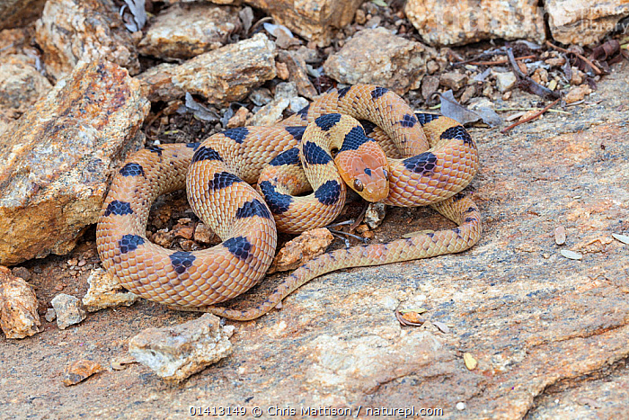 Namib tiger snake (Telescopus beetzii). Springbok, South Africa, October., AFRICA,ANIMAL MARKINGS,COLUBRIDS,REPTILES,SNAKES,SOUTH AFRICA,SOUTHERN AFRICA,VERTEBRATES,Tigers,Big Cats, Chris Mattison