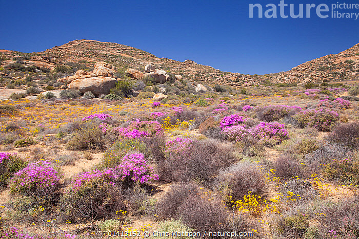 Goegap Nature Reserve; low plants flowering in arid landscape. Springbok, South Africa, October 2012., AFRICA,ARID,DESERTS,FLOWERS,LANDSCAPES,PURPLE,SOUTH AFRICA,SOUTHERN AFRICA,YELLOW, Chris Mattison