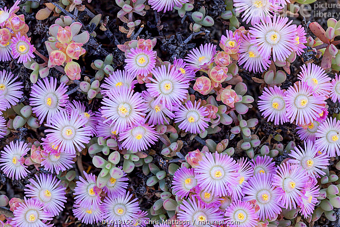 Flowering mesem / Ice Plant (Mesembryanthemum) Cederberg Mountains, Clanwilliam, South Africa, October., AFRICA,AIZOACEAE,DICOTYLEDONS,FLOWERS,PINK,PLANTS,PURPLE,SOUTH AFRICA,SOUTHERN AFRICA,WHITE, Chris Mattison