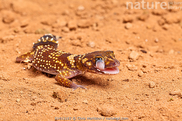 Australian thick-tailed gecko (Underwoodisaurus / Nephurus milii)  licking its eye. Captive. Endemic to Australia., AUSTRALIA,BEHAVIOUR,CLEANING,GECKOS,GROOMING,LIZARDS,PORTRAITS,REPTILES,TONGUES,VERTEBRATES,,Lizard,, Chris Mattison