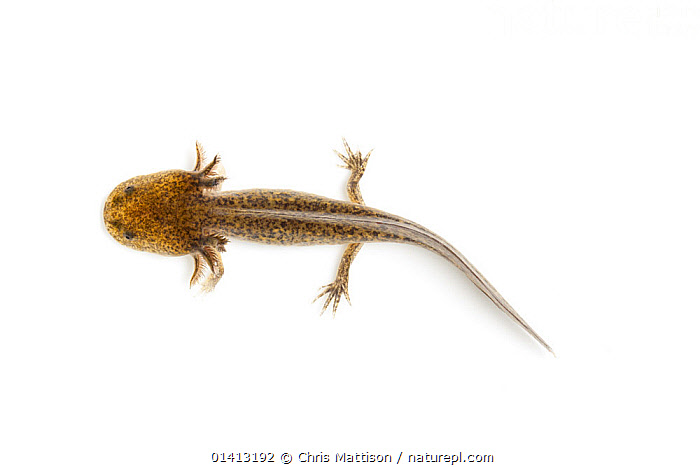Axolotl (Ambystoma mexicanum) against white background. Captive. Endemic to Central America., AMPHIBIANS,CENTRAL AMERICA,CUTOUT,ENDANGERED,SALAMANDERS,VERTEBRATES,WHITE BACKGROUND, Chris Mattison