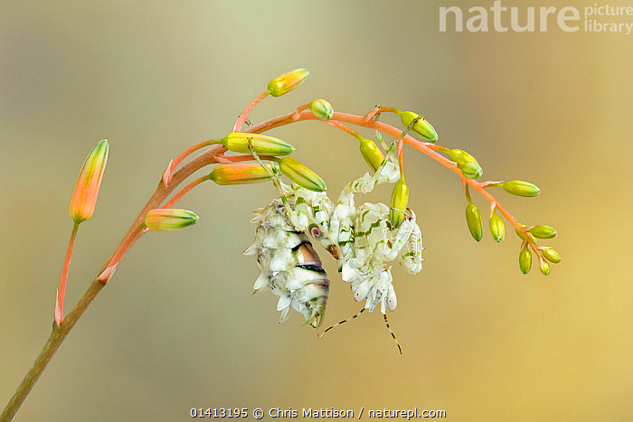 Spiny flower mantis (Pseudocreobotra wahlbergi) camouflaged as a flower. Endemic to Africa., AFRICA,ARTHROPODS,CAMOUFLAGE,FLOWERS,HIDDEN,INSECTS,INVERTEBRATES,MANTIDAE,MANTIDS,MANTODEA,PRAYING MANTIS, Chris Mattison