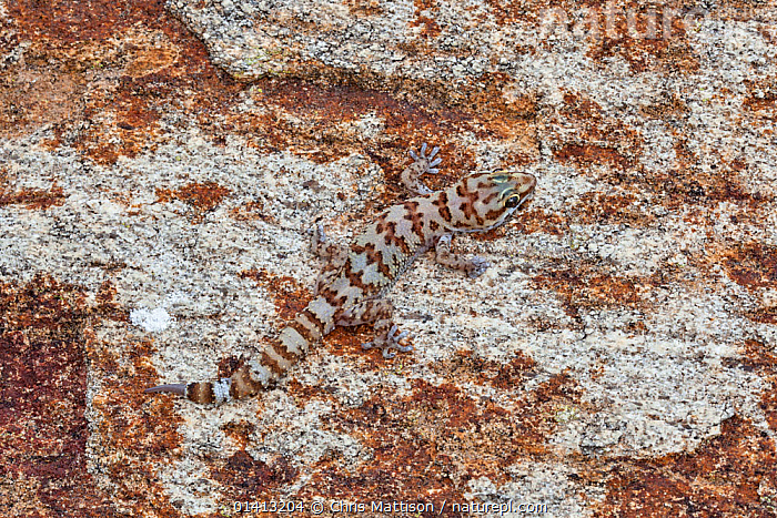 Weber's Gecko (Pachydactylus weberi) camouflaged against rock. Springbok, South Africa., AFRICA,ANIMAL MARKINGS,CAMOUFLAGE,GECKOS,HIDDEN,LIZARDS,REPTILES,SOUTH AFRICA,SOUTHERN AFRICA,VERTEBRATES,,Lizard,, Chris Mattison