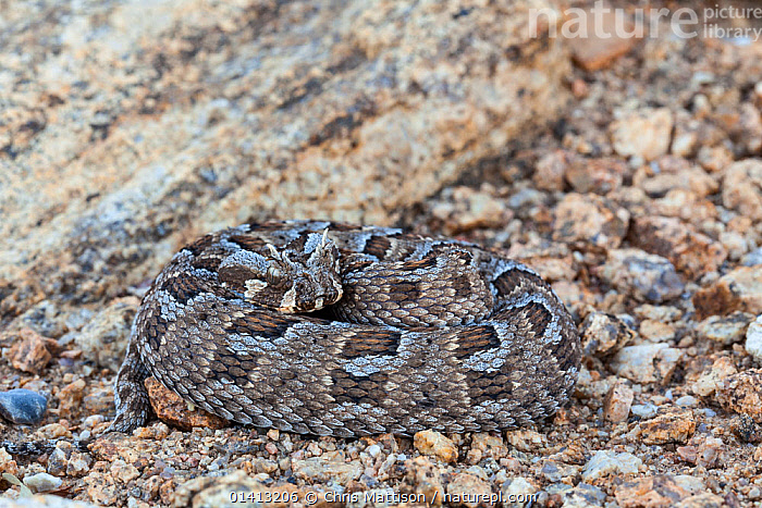 Many-horned Adder (Bitis cornuta) curled up. Springbok, Northern Cape, South Africa., AFRICA,ANIMAL MARKINGS,REPTILES,SNAKES,SOUTH,SOUTH AFRICA,SOUTHERN AFRICA,VERTEBRATES,VIPERS,Adders, Chris Mattison