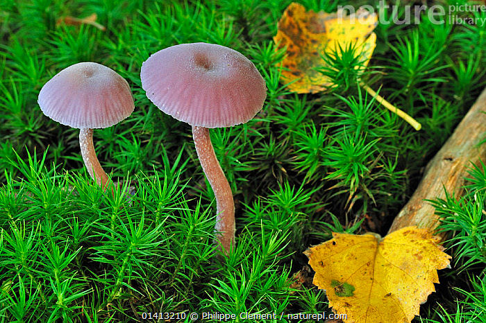Amethyst deceiver (Laccaria amethystea / amethystina) growing amongst moss on forest floor in autumn, Belgium  October, AUTUMN, BELGIUM, EUROPE, FORESTS, FUNGI, LEAVES, MOSS, PLEUROTACEAE, Philippe Clement