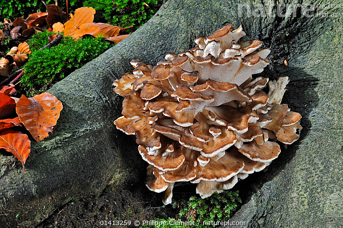 Hen of the Woods fungus (Grifola frondosa) growing from base of tree in autumn forest, Belgium, October, AUTUMN,BELGIUM,BRACKET,EUROPE,FUNGI,GROUND,GROUPS,POLYPORACEAE,ROOTS,TREES,PLANTS, Philippe Clement