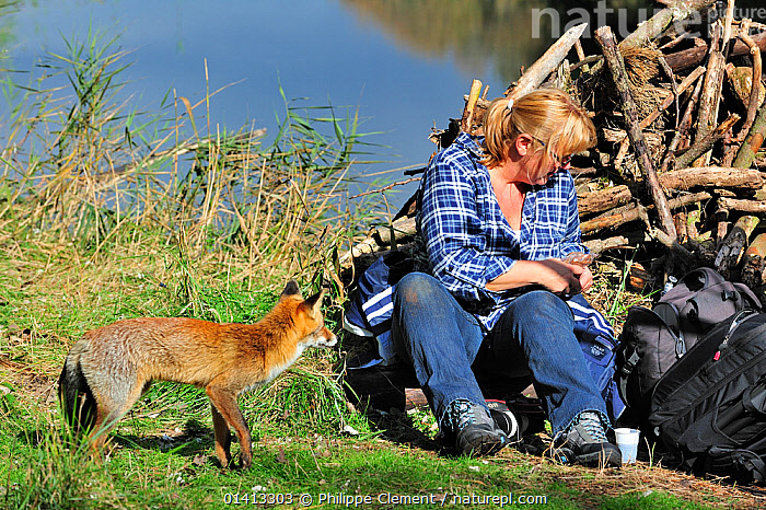 Red fox (Vulpes vulpes) tame individual begging for food from tourist, the Netherlands, October, BEHAVIOUR,CANIDAE,CANIDS,CARNIVORES,EUROPE,FEEDING,FEMALES,FOOD,FOXES,HOLLAND,INTERACTION,MAMMALS,NETHERLANDS,OPPORTUNITY,PEOPLE,TAME,VERTEBRATES,Dogs, Philippe Clement