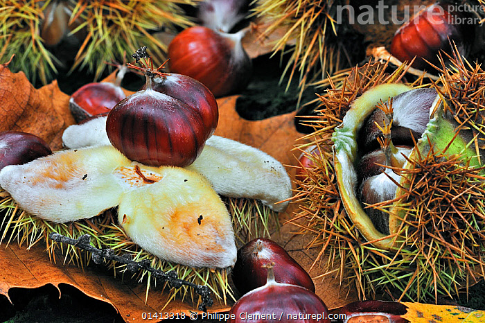 Spiny cupules and chestnuts of the sweet chestnut tree / marron (Castanea sativa) amongst autumn leaves on the forest floor, Belgium, October, AUTUMN,BELGIUM,DICOTYLEDONS,EUROPE,FAGACEAE,FLOOR,FRUIT,NUTS,PLANTS,PODS,SEEDPODS,SEEDS,TREES, Philippe Clement