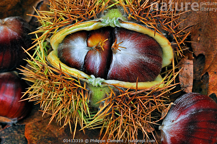 Spiny husk splitting open and showing chestnuts of the Sweet chestnut tree / marron (Castanea sativa) on the forest floor, Belgium, October, AUTUMN,BELGIUM,CASES,DETAIL,DICOTYLEDONS,EUROPE,FAGACEAE,NUTS,PLANTS,PODS,SEEDPODS,SEEDS, Philippe Clement