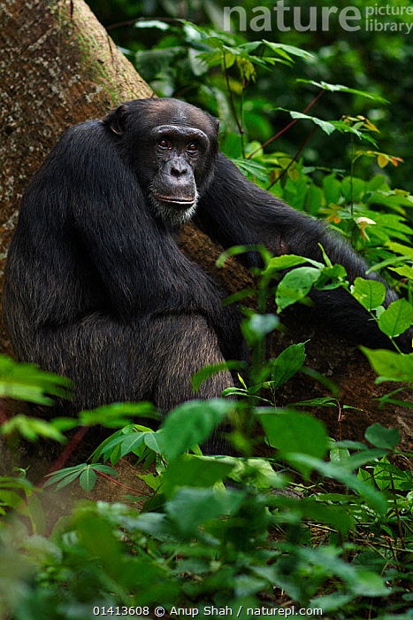 Western chimpanzee (Pan troglodytes verus)   young male 'Peley' aged 12 years sitting on a tree buttress, Bossou Forest, Mont Nimba, Guinea. December 2010.  ,  AFRICA,Bossou,chimp,Chimps,ENDANGERED,FORESTS,GREAT-APES,guinea,hominidae,immature,JUVENILE,LEAVES,MALES,MAMMALS,PRIMATES,resting,SITTING,subadult,TROPICAL,TROPICAL-RAINFOREST,tropics,VERTEBRATES,VERTICAL,WEST-AFRICA,Western,YOUNG high1314,PAN TROGLODYTES VERUS,Animal,Vertebrate,Mammal,Ape,Chimpanzee,West African Chimpanzee,Animalia,Animal,Wildlife,Vertebrate,Mammalia,Mammal,Primate,Primates,Hominidae,Ape,Greater apes,Hominoidea,Pan,Pan troglodytes,Chimpanzee,Common Chimpanzee,Robust Chimpanzee,Sitting,Resting,Rest,Waiting,Sadness,Black,Nobody,Serious,Africa,West Africa,Guinea,Republic of Guinea,Young Animal,Juvenile,Male Animal,Plant,Leaf,Foliage,Tree,Hair,Fur,Outdoors,Open Air,Outside,Day,Nature,Natural,Natural World,Wild,West African Chimpanzee,West African,Sitting on Ground,Animal Hair,Bossou Forest,Mont Nimba,Endangered species,Endangered,Threatened,,Great apes,  ,  Anup Shah