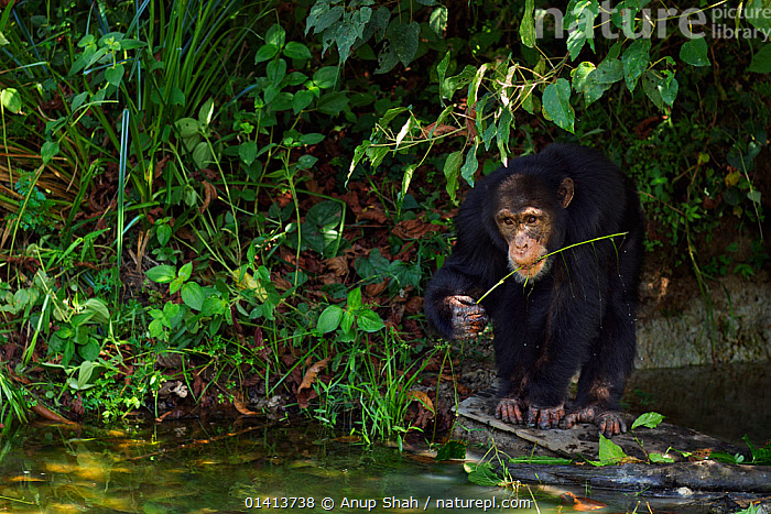 Western chimpanzee (Pan troglodytes verus)   young male 'Jeje' aged 13 years using a tool made from a stem for 'Algae Scooping', Bossou Forest, Mont Nimba, Guinea. December 2010., AFRICA,ALGAE,AQUATIC,BEHAVIOUR,BOSSOU,CHIMP ,CHIMPS,ENDANGERED,FEEDING,FORESTS,GREAT APES,GUINEA,HOMINIDAE,IMMATURE,INTELLIGENCE,JUVENILE,MALES,MAMMALS,PLANTS,PRIMATES,SCOOPING,SUBADULT,TOOL,TOOL USING,TOOLS,TROPICAL,TROPICAL RAINFOREST,TROPICS,VERTEBRATES,WATER,WEST AFRICA,WESTERN,YOUNG, Anup Shah