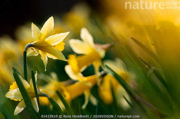 Small group of flowering Wild daffodils (Narcissus pseudonarcissus), with out of focus flowers in the background, Dunsdon Wood Devon Wildlife Trust Reserve, Dartmoor National Park, Devon, England, UK, March. Did you know? The name daffodil was originally 'affodell'.  ,  2020VISION,AMARYLLIDACEAE,ARTY SHOTS,ENGLAND,EUROPE,FLOWERS,MONOCOTYLEDONS,NP,PLANTS,RESERVE,SPRING,UK,WOODLANDS,YELLOW,picday,National Park,United Kingdom,2020cc  ,  Ross Hoddinott / 2020VISION