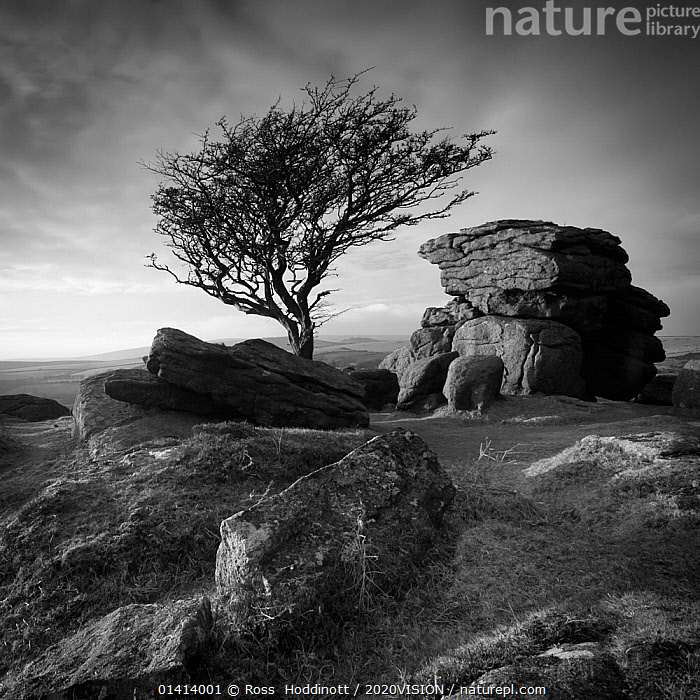 Monochrome image of a Hawthorn tree (Crataegus monogyna) and granite outcrop near Saddle Tor, Dartmoor National Park, Devon, England, UK, January 2011.  ,  2020VISION,black and white,ENGLAND,EUROPE,GEOLOGY,LANDSCAPES,monochrome,MOORLAND,NP,RESERVE,ROCK-FORMATIONS,ROCKS,SQUARE,TREES,UK,UPLANDS high1314,ENGLAND,Plant,Vascular plant,Flowering plant,Rosid,Hawthorn,Common hawthorn tree,Plantae,Plant,Tracheophyta,Vascular plant,Magnoliopsida,Flowering plant,Angiosperm,Seed plant,Spermatophyte,Spermatophytina,Angiospermae,Rosales,Rosid,Dicot,Dicotyledon,Rosanae,Rosaceae,Crataegus,Hawthorn,Crataegus monogyna,Common hawthorn tree,Single seeded hawthorn,Oneseed hawthorn,Singleseed hawthorn,Crataegus oxyacantha,Crataegus curvisepala,Mood,Bleak,Eerie,Famous Place,Landmark,Nobody,Europe,Western Europe,UK,Great Britain,England,Devon,Black And White,B/W,Monochromatic,Rose Order,Rose Family,Haw,Haws,Hawthorns,Thornapple,Thornapples,Tree,Rock Formations,Rock,Igneous Rocks,Volcanic Rocks,Rural Scene,Countryside scene,Outdoors,Open Air,Outside,Winter,History,Geology,Dartmoor,Dartmoor National Park,Prehistoric,The Past,Outcrop,Tor,Saddle Tor  ,  Ross  Hoddinott / 2020VISION