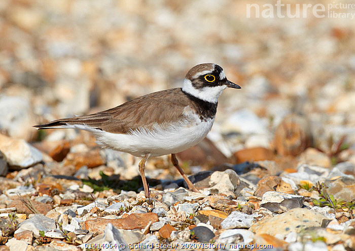 Male Little ringed plover (Charadrius dubius) on the edge of a freshwater gravel pit, Hampshire, England, UK, April., 2020VISION,BIRDS,CHARADRIIDAE,ENGLAND,EUROPE,MALES,PLOVERS,PROFILE,UK,VERTEBRATES,WADERS,WETLANDS,United Kingdom,2020cc, Richard Steel / 2020VISION