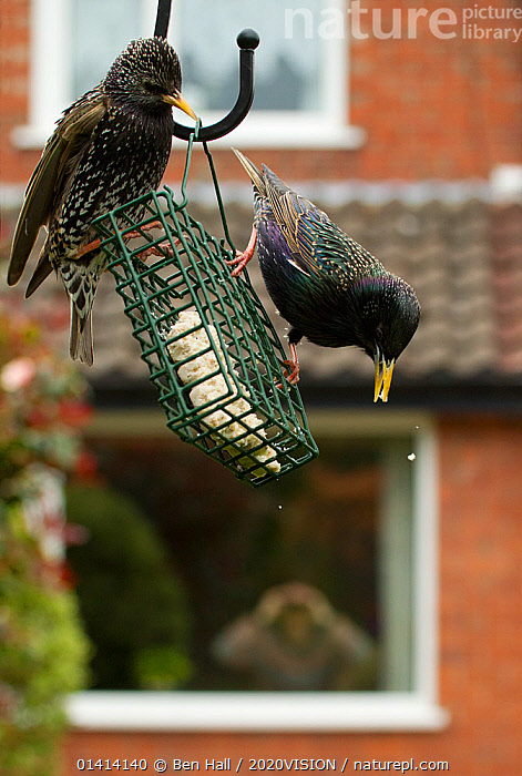 Common starling (Sturnus vulgaris) on bird feeder with man in background watching through house window with binoculars, Poynton, Cheshire, England, UK, May. Property released.  ,  2020VISION,BIRDS,BIRDWATCHER,BIRDWATCHERS,BIRDWATCHING,BIRD WATCHING,BUILDINGS,CAUCASIAN,CITIES,ENGLAND,EUROPE,FEEDERS,FEEDING,GARDENS,INDOORS,MAN,PEOPLE,SONGBIRDS,STARLINGS,STURNIDAE,TWO,UK,URBAN,VERTEBRATES,VERTICAL,United Kingdom,2020cc  ,  Ben Hall / 2020VISION