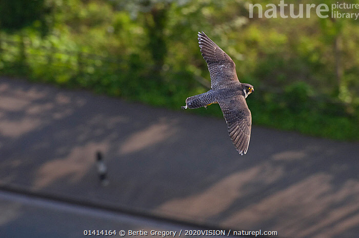 Adult female Peregrine falcon (Falco peregrinus) in flight over a road in the Avon Gorge, Bristol, England, UK, May.  ,  2020VISION,BIRDS,BIRDS OF PREY,CITIES,ENGLAND,EUROPE,FALCONIDAE,FALCONS,FEMALES,FLYING,HIGH ANGLE SHOT,LOOKING AT CAMERA,ROADS,UK,URBAN,VERTEBRATES,United Kingdom,2020cc,,urban,  ,  Bertie Gregory / 2020VISION