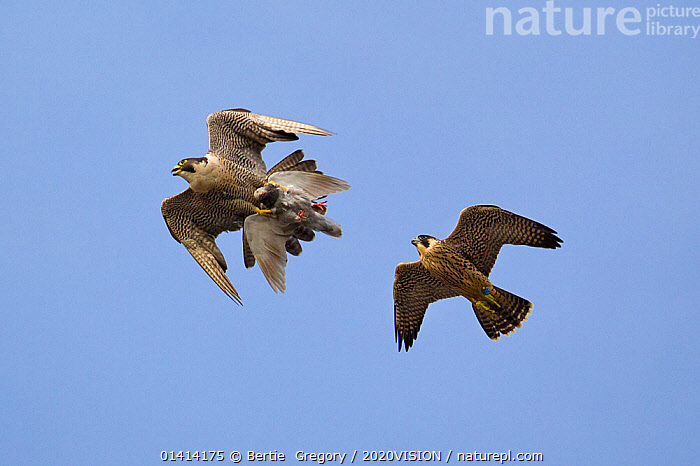 Juvenile male Peregrine falcon (Falco peregrinus) in flight chasing his parent who has Feral pigeon (Columba livia) kill in claws, Bristol, England, UK, June.  ,  2020VISION,BIRDS,BIRDS-OF-PREY,CITIES,ENGLAND,EUROPE,Falconidae,FALCONS,FLYING,JUVENILE,LOW-ANGLE-SHOT,MALES,PREDATION,UK,URBAN,VERTEBRATES high1314,FALCO PEREGRINUS,Animal,Vertebrate,Bird,Birds,Dove,Typical pigeon,Rock pigeon,Birds of prey,Falcon,Peregrine falcon,Falco rupicolis,Rock Kestrel,Animalia,Animal,Wildlife,Vertebrate,Aves,Bird,Birds,Columbiformes,Dove,Pigeon,Columbidae,Columba,Typical pigeon,Columba livia,Rock pigeon,Rock dove,Feral pigeon,Feral dove,Falconiformes,Birds of prey,Raptor,Falconidae,Falco,Falcon,Falco peregrinus,Peregrine falcon,Flying,Direction,On The Move,Speed,Few,Three,Group,Nobody,Europe,Western Europe,UK,Great Britain,England,Bristol,Copy Space,Male Animal,Sky,Clear Sky,Outdoors,Open Air,Outside,Day,Nature,Natural,Natural World,Wild,Feral,Flight,Negative space,Three Animals,Moving,Blue sky,Prey,Purpose,Falco rupicolis,Rock Kestrel  ,  Bertie  Gregory / 2020VISION