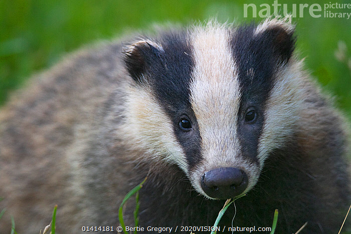 Badger (Meles meles) cub, Dorset, England, UK, July. Did you know? The word Badger derives from the French 'Becheur�, meaning digger.  ,  2020VISION,BADGERS,CARNIVORES,CUTE,ENGLAND,EUROPE,FARMLAND,FULL FRAME,JUVENILE,LOOKING AT CAMERA,MAMMALS,MUSTELIDAE,PICDAY,PORTRAITS,SUMMER,UK,VERTEBRATES,WOODLANDS,United Kingdom,2020cc  ,  Bertie Gregory / 2020VISION