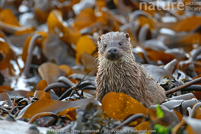 European river otter (Lutra lutra) cub amongst kelp on shoreline, Shetland Isles, Scotland, UK, October., 2020VISION,CARNIVORES,COASTS,EUROPE,ISLANDS,JUVENILE,LOOKING AT CAMERA,MAMMALS,MARINE,MUSTELIDAE,OTTERS,PORTRAITS,SCOTLAND,SHETLAND,UK,VERTEBRATES,United Kingdom,Mustelids, Chris Gomersall / 2020VISION