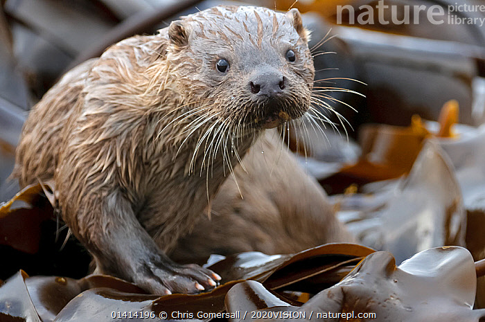 European river otter (Lutra lutra) cub amongst kelp on shoreline, Shetland Isles, Scotland, UK, October., 2020VISION,CARNIVORES,COASTS,EUROPE,ISLANDS,JUVENILE,LOOKING AT CAMERA,MAMMALS,MARINE,MUSTELIDAE,OTTERS,PORTRAITS,SCOTLAND,SHETLAND,UK,VERTEBRATES,United Kingdom,Mustelids,2020cc, Chris Gomersall / 2020VISION