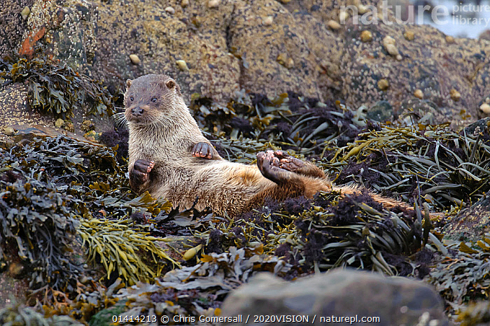 European river otter (Lutra lutra) cub lying on back and drying itself on seaweed, Shetland Isles, Scotland, UK, October.  ,  2020VISION,BEHAVIOUR,CARNIVORES,COASTS,CUTE,EUROPE,ISLANDS,JUVENILE,MAMMALS,MARINE,MUSTELIDAE,OTTERS,SCOTLAND,SHETLAND,UK,VERTEBRATES,United Kingdom,Mustelids  ,  Chris Gomersall / 2020VISION