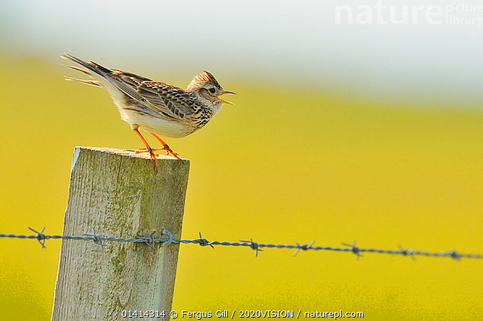 Skylark (Alauda arvensis) perched on a fence post, vocalising, Balranald RSPB reserve, North Uist, Outer Hebrides, Scotland, UK, June. Did you know? The collective noun for a group of Skylarks is an exhaltation., 2020VISION,ALAUDIDAE,BIRDS,picday,EUROPE,FARMLAND,FARMS,FENCEPOST,LARKS,MACHAIR,RESERVE,SCOTLAND,SONGBIRDS,UK,VERTEBRATES,VOCALISATION,United Kingdom,2020cc, Fergus Gill / 2020VISION