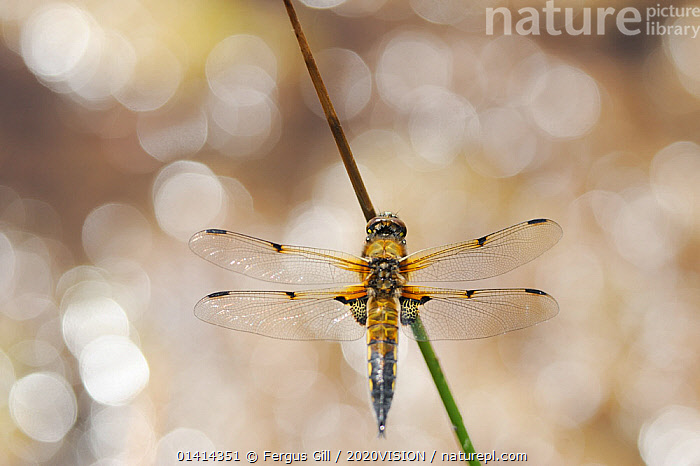 Four-spotted chaser / Four-spooed libellula (Libellula quadrimaculata), Moine Mhor National Nature Reserve, Argyll, Scotland, UK, May., 2020VISION,ARTHROPODS,BOKEH,CHASER,DRAGONFLIES,EUROPE,INSECTS,INVERTEBRATES,NNR,ODONATA,RESERVE,SCOTLAND,UK,WETLANDS,United Kingdom, Fergus Gill / 2020VISION
