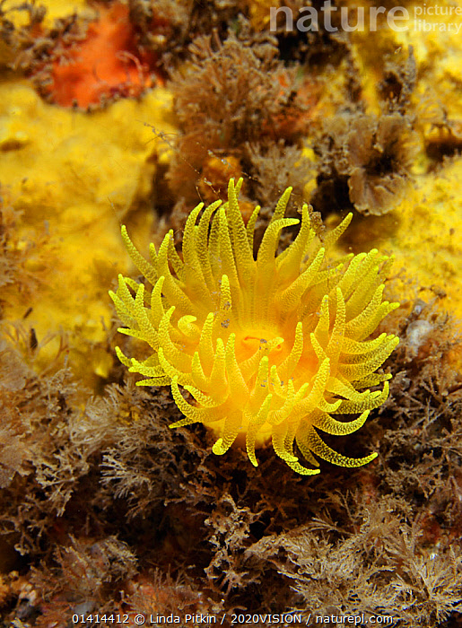 Sunset cup coral / Yellow cave coral (Leptopsammia pruvoti), on sponge covered rock face, Lundy Island Marine Conservation Zone, Devon, England, UK, May  ,  2020VISION,ANTHOZOANS,ATLANTIC OCEAN,BRISTOL CHANNEL,CNIDARIANS,COASTAL WATERS,CORALS,ENGLAND,EUROPE,HARD CORALS,INVERTEBRATES,MARINE,SEAS,TEMPERATE,UK,UNDERWATER,VERTICAL,WORMS,United Kingdom,Cnidaria,2020cc  ,  Linda Pitkin / 2020VISION
