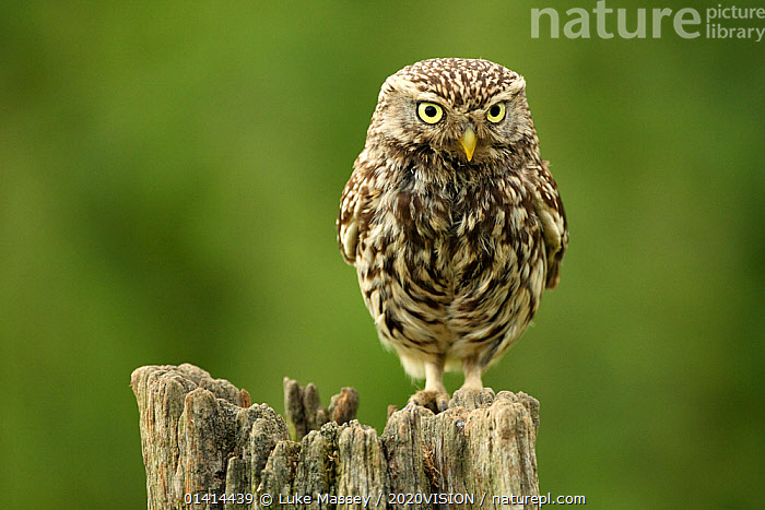 Little owl (Athene noctua) perched on a post, Essex, England, UK, June. Did you know? The Latin name of the Little owl, Athene noctua, comes from the Greek goddess of wisdom Athena, whose symbol was an owl.  ,  2020VISION,BIRDS,BIRDS OF PREY,ENGLAND,EUROPE,picday,FARMLAND,FARMS,OWLS,STRIGIDAE,UK,VERTEBRATES,United Kingdom,Raptor,2020cc  ,  Luke Massey / 2020VISION