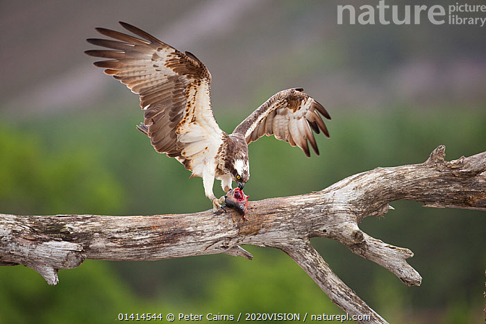 Osprey (Pandion haliaetus) eating fish prey, Cairngorms National Park, Scotland, UK, July.  ,  2020VISION,BEHAVIOUR,BIRDS,BIRDS OF PREY,CAIRNGORMS,EUROPE,FEEDING,FISH,HIGHLANDS,LAKES,NP,OSPREYS,PANDIONIDAE,RESERVE,RIVERS,SCOTLAND,SUMMER,UK,UPLANDS,VERTEBRATES,National Park,United Kingdom,2020cc  ,  Peter Cairns / 2020VISION