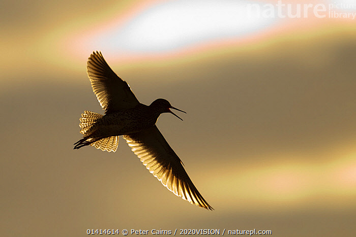 Redshank (Tringa totanus) calling in flight, Outer Hebrides, Scotland, UK, June.  ,  2020VISION,BACKLIT,BIRDS,EUROPE,FEATHERS,FLYING,SANDPIPERS,SCOLOPACIDAE,SCOTLAND,SILHOUETTES,SUMMER,UK,VERTEBRATES,VOCALISATION,WADERS,WETLANDS,WINGS,United Kingdom,2020cc  ,  Peter Cairns / 2020VISION