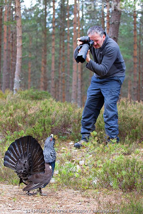 Male Capercaillie (Tetrao urogallus) displaying at photographer Andy Parkinson whilst on assignment for 2020VISION, Cairngorms National Park, Scotland, UK, March., 2020VISION,BEHAVIOUR,BIRDS,CAMERA,CAMERAS,CAUCASIAN,DISPLAY,EUROPE,GALLIFORMES,GAME BIRDS,GROUSE,HIGHLANDS,MAN,NP,OUTDOORS,PEOPLE,PHASIANIDAE,PHOTOGRAPHY,REAR VIEW,RESERVE,SCOTLAND,UK,UPLANDS,VERTEBRATES,VERTICAL,WOODLANDS,Communication,National Park,United Kingdom,2020cc, Andrew Parkinson