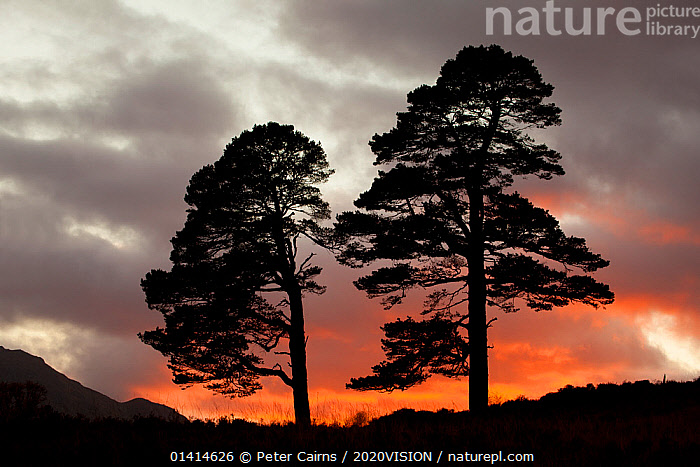 Two Scots pine trees (Pinus sylvestris) silhouetted at sunset, Glen Affric, Scotland, UK, October 2012. Did you know? The bark of a Scots pine tree can be up to 5 centimetres thick., 2020VISION,CONIFERS,EUROPE,GYMNOSPERMS,HIGHLANDS,LANDSCAPES,PINACEAE,PINES,PLANTS,SCOTLAND,SILHOUETTES,SUNRISE,SUNSET,TREES,TWO,UK,UPLANDS,WOODLANDS,United Kingdom,picday,2020cc, Peter Cairns / 2020VISION