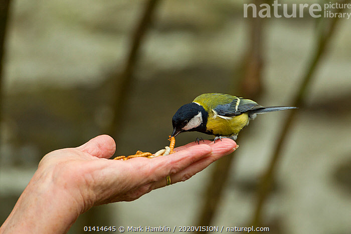 Great tit (Parus major) taking mealworm from person's hand, Pembrokeshire Coast National Park, Wales, UK, May.  ,  2020VISION,BIRDS,CITIES,EUROPE,FEEDING,GARDENS,HANDS,NP,PARIDAE,SONGBIRDS,SUMMER,TAME,TITS,TOWNS,UK,VERTEBRATES,VILLAGES,WALES,National Park,United Kingdom,2020cc  ,  Mark Hamblin / 2020VISION
