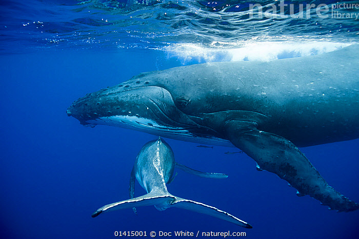 Humpback Whale (Megaptera novaeangliae) mother and calf. Tonga, South Pacific, September.  ,  BALAENOPTERIDAE,CALVES,CETACEANS,FEMALES,JUVENILE,MAMMALS,MARINE,MELANESIA,MOTHER,MOTHER BABY,OCEANIA,PACIFIC,SOUTH PACIFIC ,TONGA,TROPICAL,UNDERWATER,VERTEBRATES,WHALES,YOUNG,Catalogue5  ,  Doc White