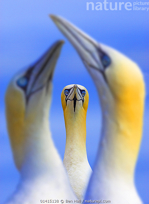 Northern gannets (Morus / Sula bassanus) portrait of individual with a courting pair in foreground, UK, Bass Rock, Scotland, Portrait category winner in the British Wildlife Photography Awards BWPA competititon 2009, ARTY-SHOTS, BIRDS, BLUE, COURTSHIP, frame, framed, GANNETS, GROUPS, MORUS BASSANUS, SCOTLAND, SEABIRDS, selective-focus, Sulidae, THREE, VERTEBRATES, VERTICAL,Europe,UK,United Kingdom,Catalogue5, Ben Hall