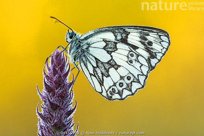Marbled White butterfly (Melanargia galathea) at rest, Dunsdon Nature Reserve, Devon, UK. July.  ,  ARTHROPODS,BUTTERFLIES,copyspace,CUTOUT,ENGLAND,EUROPE,FLOWERS,INSECTS,INVERTEBRATES,LEPIDOPTERA,Marbled,Nymphalidae,PATTERNS,PLANTS,PORTRAITS,PROFILE,resting,UK,WHITE high1314,MELANARGIA GALATHEA,Animal,Arthropod,Insect,Brushfooted butterfly,Marbled white,Animalia,Animal,Wildlife,Hexapoda,Arthropod,Invertebrate,Hexapod,Arthropoda,Insecta,Insect,Lepidoptera,Lepidopterans,Nymphalidae,Brushfooted butterfly,Fourfooted butterfly,Nymphalid,Butterfly,Papilionoidea,Melanargia,Marbled white,Satyrine,Satyrid,Brown,Satyrinae,Melanargia galathea,Papilio galathea,Resting,Rest,Waiting,Alertness,Alert,Balance,Complexity,Complex,Complicated,White,Nobody,Pattern,Patterned,Patterns,Marbled,Marble Effect,Marble Effects,Marble Pattern,Marble Patterns,Marbled Effect,Marbled Effects,Europe,Western Europe,UK,Great Britain,England,Devon,Coloured Background,Yellow Background,Profile,Close Up,Side View,Wing,Wings,Outdoors,Open Air,Outside,Day,Nature,Natural,Natural World,Nature Reserve,Animal marking,White colour,,Beauty in nature,,,beauty in nature,  ,  Ross Hoddinott