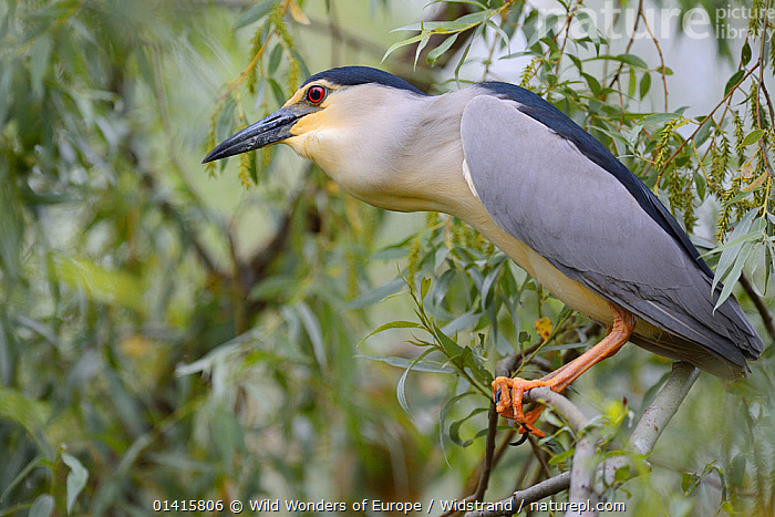 Black crowned night heron (Nycticorax nycticorax) perching profile, Danube delta rewilding area, Romania May  ,  ARDEIDAE,BIRDS,DANUBE,DELTA,EASTERN EUROPE,EUROPE,HERONS,PORTRAITS,PROFILE,REWILDING,STAFFAN WIDSTRAND,VERTEBRATES,WETLANDS,WWE  ,  Wild Wonders of Europe / Widstrand