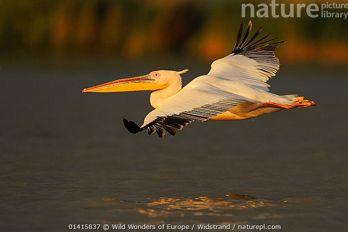 Eastern white pelican (Pelecanus onocrotalus) in flight over water, Danube delta rewilding area, Romania May sequence 3/10  ,  BIRDS,DANUBE,DELTA,EASTERN EUROPE,EUROPE,FLAPPING,FLIGHT,FLYING,GLIDING,PELICANIDAE,PELICANS,PORTRAITS,PROFILE,REWILDING,SEABIRDS,SEQUENCE,STAFFAN WIDSTRAND,VERTEBRATES,WATER,WETLANDS,WINGS,WWE  ,  Wild Wonders of Europe / Widstrand
