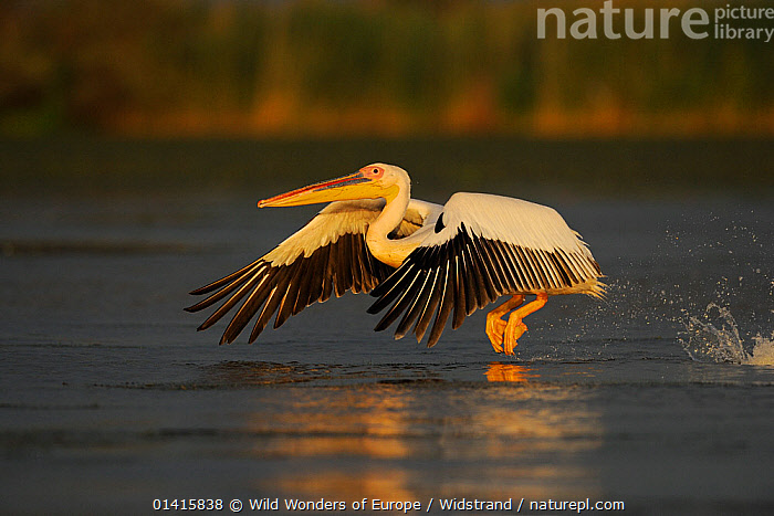 Eastern white pelican (Pelecanus onocrotalus) taking off from water, Danube delta rewilding area, Romania May sequence 1/10  ,  ACTION,BIRDS,DANUBE,DELTA,EASTERN EUROPE,EUROPE,FLAPPING,FLYING,PELICANIDAE,PELICANS,PORTRAITS,PROFILE,REWILDING,SEABIRDS,SEQUENCE,STAFFAN WIDSTRAND,TAKING OFF,VERTEBRATES,WETLANDS,WINGS,WWE  ,  Wild Wonders of Europe / Widstrand