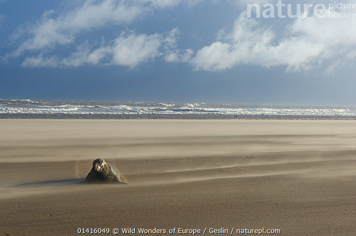 Grey seal (Halichoerus grypus) on beach at Donna Nook, Lincolnshire, United Kingdom, November 2008, Exclusive Japanese calendar rights for 2014.  ,  BEACHES,CARNIVORES,CLOUDS,COASTS,ENGLAND,EUROPE,LANDSCAPES,LAURENT GESLIN,MAMMALS,MARINE,PHOCIDAE,PINNIPEDS,SEALS,UK,VERTEBRATES,WWE,Weather,United Kingdom  ,  Wild Wonders of Europe / Geslin