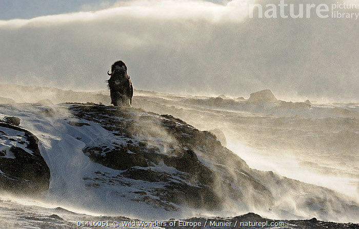 Muskox, (Ovibos moschatus) with wind blowing snow, Dovrefjell national park, Norway, February 2009. Exclusive Japanese calendar rights for 2014.  ,  ALONE,ARTIODACTYLA,BOVIDAE,CLOUDS,HABITAT,HARSH,MAMMALS,MUSK OX,NP,RESERVE,SNOW,VERTEBRATES,VINCENT MUNIER,WEATHER,WIND,WWE,Europe,Scandinavia,National Park  ,  Wild Wonders of Europe / Munier