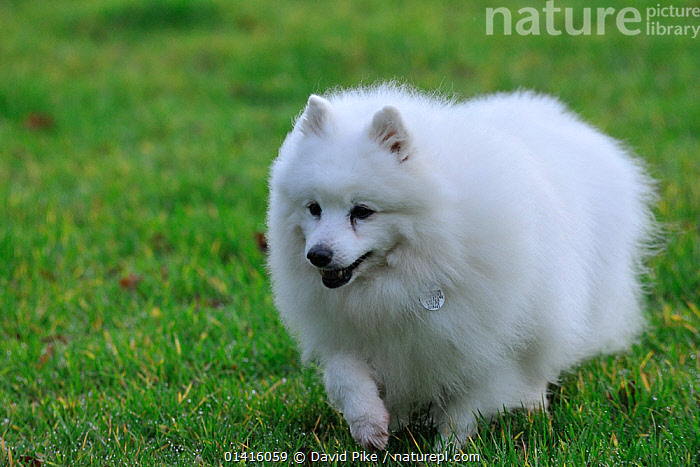 Domestic dog, Japanese Spitz.  ,  BREEDS,CANIDAE,DOGS,DOMESTIC DOGS,OUTDOORS,PETS,SMALL DOGS,TOY DOGS,VERTEBRATES,WHITE  ,  David Pike