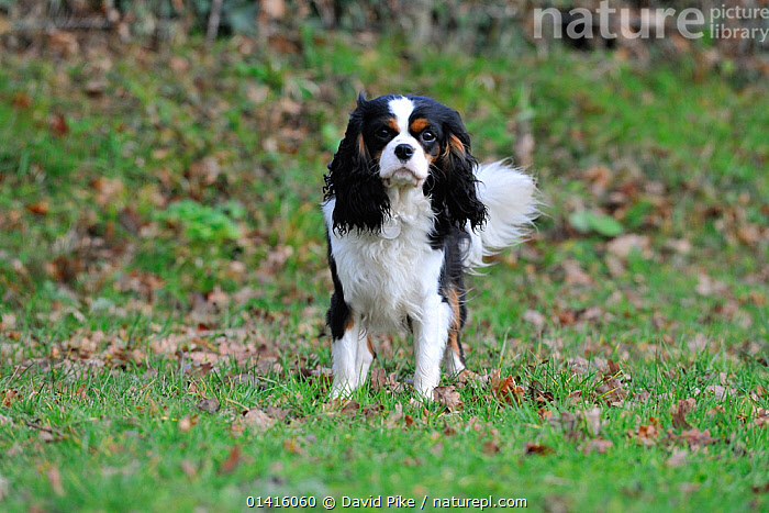 Domestic dog, Cavalier King Charles Spaniel.  ,  CANIDAE,DOG,DOGS,LOOKING AT CAMERA,OUTDOORS,PETS,SMALL DOGS,TOY DOGS,VERTEBRATES  ,  David Pike