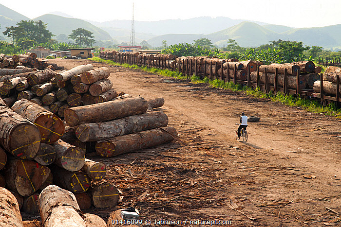 Cyclist moves through lumber yard showing large-scale hardwood timber extraction with hardwood logs being readied for loading onto railway trucks that will collect timber from lumber yard located inside the Lope National Park. Onward shipment via sea takes place from Libreville, Gabon. 2009  ,  AFRICA,BICYCLES,BRUCE DAVIDSON,CENTRAL AFRICA,CYCLING,CYCLIST,DEFORESTATION,DEVELOPMENT,ENVIRONMENTAL,EXPLOITATION,EXPORT,GABON,HARDWOODS,INDUSTRY,LANDSCAPES,LOGGING,LOGS,MASS,NATIONAL PARK,NP,PEOPLE,RESERVE,RESOURCES,TIMBER,TRANSPORT,TREES,TROPICAL RAINFOREST,TRUNKS,PLANTS  ,  Jabruson