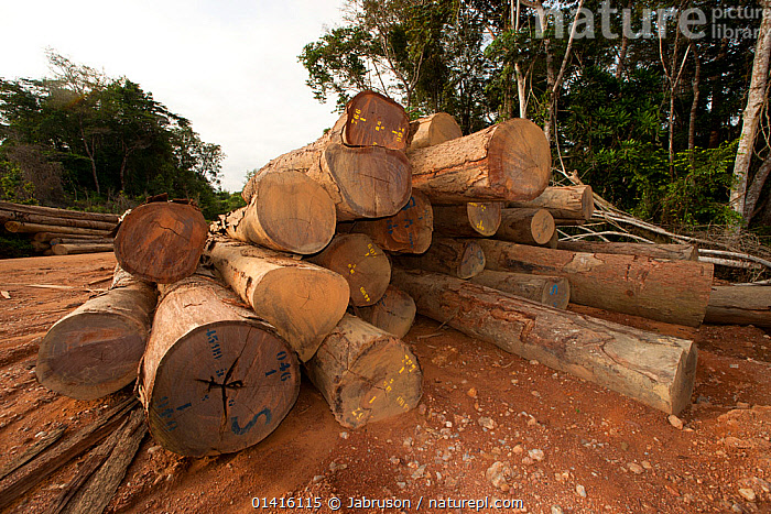 Large-scale hardwood timber extraction with hardwood logs being readied for loading onto railway trucks that will collect timber from lumber yard located inside the Lope National Park. Onward shipment via sea takes place from Libreville, Gabon. 2009  ,  AFRICA,BRUCE DAVIDSON,CENTRAL AFRICA,DEFORESTATION,DEVELOPMENT,ENVIRONMENTAL,EXPLOITATION,EXPORT,GABON,HARDWOODS,INDUSTRY,LOGGING,LOGS,MASS,NATIONAL PARK,NP,RESERVE,RESOURCES,TIMBER,TREES,TROPICAL RAINFOREST,TRUCKS,TRUNKS,VEHICLES,PLANTS  ,  Jabruson