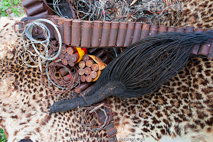 Poacher's haul of Leopard skin (Panthera pardus), African forest elephant (Loxodonta africana cyclotis) tail, ammunition and wire snares, confiscated from near National Park, Gabon  ,  AFRICA,AMMUNITION,BRUCE DAVIDSON,CENTRAL AFRICA,GABON,GUNS,HUNTING,ILLEGAL,NATIONAL PARK,NP,PELT,POACHING,RESERVE,SKIN,SNARES,TAILS,TRADE,TROPHIES,WILDLIFE,Leopards,Big Cats  ,  Jabruson