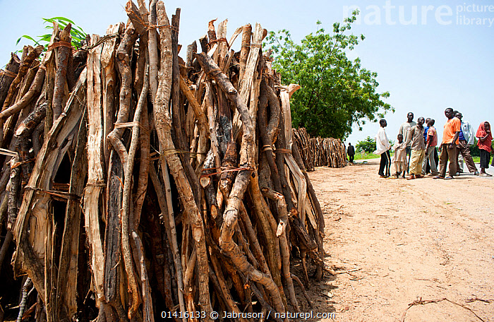 Firewood collected from Waza National Park. Inefficient monitoring and lack of controls allow enterprising merchants to remove and collect wood from the Waza National Park and surrounding hinterland, Cameroon, September 2009  ,  AFRICA,CENTRAL AFRICA,CONSERVATION,DEFORESTATION,ENVIRONMENTAL,FIREWOOD,FORESTS,FUEL,MEN,NP,PEOPLE,RESERVE,STOCKPILES,National Park , Bruce Davidson  ,  Jabruson