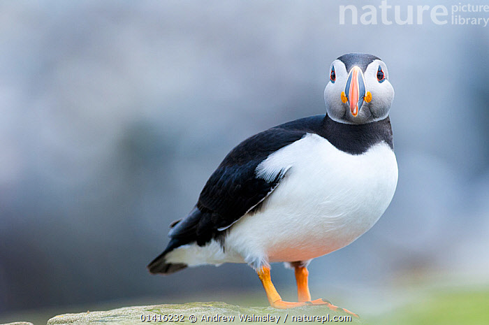 Atlantic puffin (Fratercula arctica), Inner Farne islands, Northumberland, June  ,  ATLANTIC PUFFIN,AUKS,BIRDS,COASTS,COPYSPACE,ENGLAND,EUROPE,ISLANDS,LOOKING AT THE CAMERA,PORTRAITS,PUFFINS,SEABIRDS,UK,VERTEBRATES,United Kingdom  ,  Andrew Walmsley